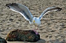 Seagull Landing On Boulder