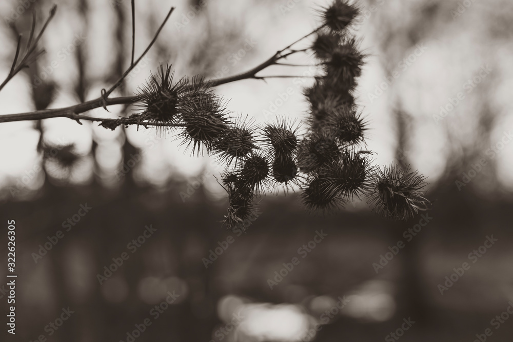Silhouettes of old withered burdock, burdock seeds, abstract, black and white photo