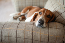 Basset Hound Dog Relaxing In L...