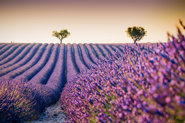 Panel Szklany Lawenda Beautiful blooming lavender field in Valensole, France