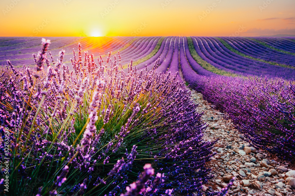Fototapeta Blooming lavender field at sunset in Provence, France