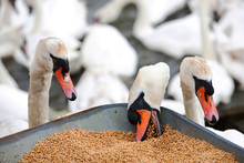 Wild Mute Swans (Cygnus Olor) Pinching Grain From The Barrow At Feeding Time At The Abbotsbury Swannery In Dorset, UK.