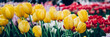 Close up of blooming flowerbeds of blossoming tulips during spring. Public flower garden, Netherlands.
