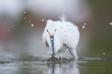 A Close-up Of A Snowy Egret Be...