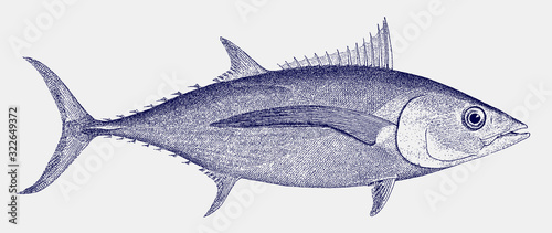 Albacore or longfin tuna, thunnus alalunga, a fish from the atlantic, indian and Wallpaper Mural