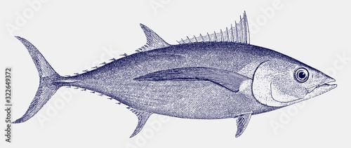 Photo Albacore or longfin tuna, thunnus alalunga, a fish from the atlantic, indian and