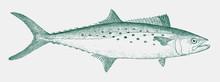 Atlantic Spanish Mackerel, Sco...