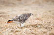 A Red-tailed Hawk Stands On Th...