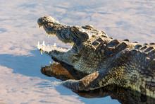 Resting Big Nile Crocodile On ...