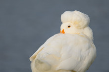 A White Duck Rests With Its Beak Tucked Into Its Back In The Early Morning Sunlight With A Smooth Blue Background.