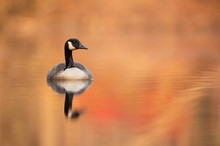 A Canada Goose Floating On Cal...