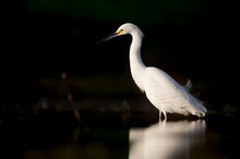 A Snowy Egret Wading In Shallo...