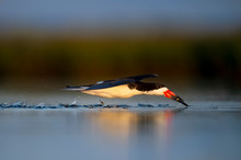A Black Skimmer Catching Small Minnows As It Flies Low Over The Water In The Golden Morning Sunlight.