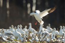 A Single Snow Goose Flies In T...