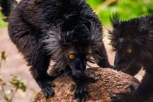 Male Black Lemur With Its Face...