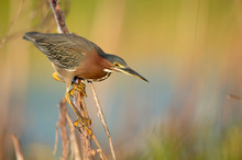 A Green Heron Perched On A Branch With A Smooth Green Background In The Bright Morning Sunlight.