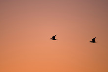 A Pair Of Northern Gannets Fly In Front Of A Cloudless Sunrise Pink And Orange Sky.