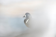 A Male Harlequin Duck With A C...