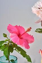 Studio Shot Of Pink Hibiscus F...