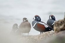 A Small Group Of Harlequin Duc...