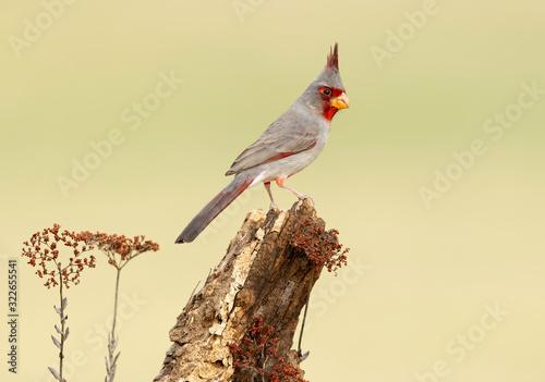 Obraz na plátne Pyrrhuloxia (Cardinalis sinuatus), Laguna Seca Ranch, Texas, USA