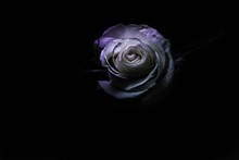 White Rose With Black Background