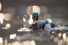 A Colorful Male Wood Duck Swim...