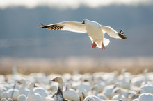 A Single Snow Goose Flies In To Land In A Flock Of Snow Geese With Its Wings Spread And Glowing From The Bright Sunlight.