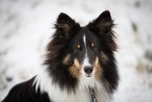 Portrait Of Sheepdog In Snow