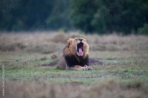 Photo lion yawning in the rain