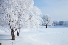 Trees In Winter Covered With H...