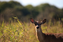 White-tailed Deer Odocoileus Virginianus Forages For Clover