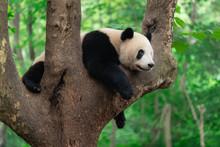 Giant Panda Eating Bamboo Leaves