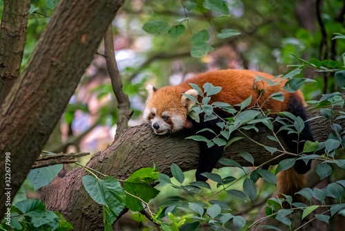 Red panda firefox sleeping on the tree, Wallpaper Mural