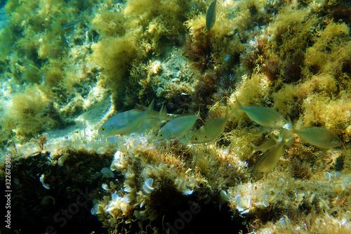 Obraz na plátne Salema porgy saltwater dreamfish - Sarpa salpa