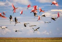 Wood Storks And Roseatte Spoonbills At St Marks National Wildlife Refuge, Florida