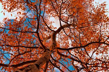 Fototapeta Drzewa tree in autumn