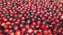 Many Tasty Autumn Cranberries ...