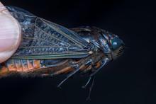 Cicadoidea Critter.