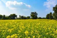 Yellow Flowers Of Mustard Fiel...