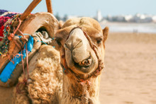 Toothy Camel Chews On The Sand...