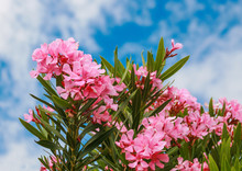 Pink Flowers In A Bush In The ...