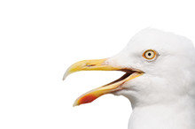 Seagull With Open Beak Isolate...