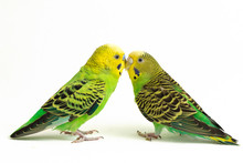 A Pair Of Common Parakeets Bud...