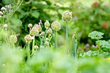 Flowering Onions. Onion  Flowe...