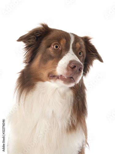 Stampa su Tela australian shepherd dog