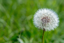 Faded White Fluffy Dandelion F...
