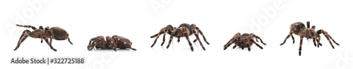 Collage of striped knee tarantula (Aphonopelma seemanni) on white background Fotobehang
