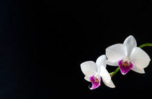 White Orchid Flower With Black...