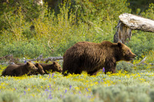 Grizzly Family With Mother Bear And Three Cubs